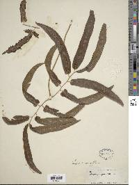 Lygodium volubile image