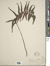 Adiantum lucidum image