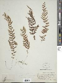 Hymenophyllum elegantulum image