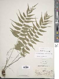 Asplenium gomezianum image