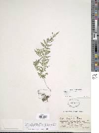 Cystopteris alpina image