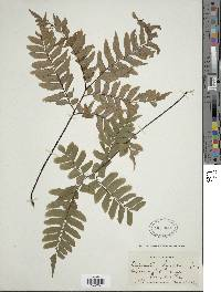 Adiantum latifolium image