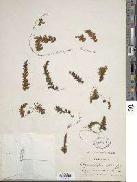 Hymenophyllum asplenioides image