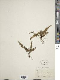 Image of Trichomanes crinitum