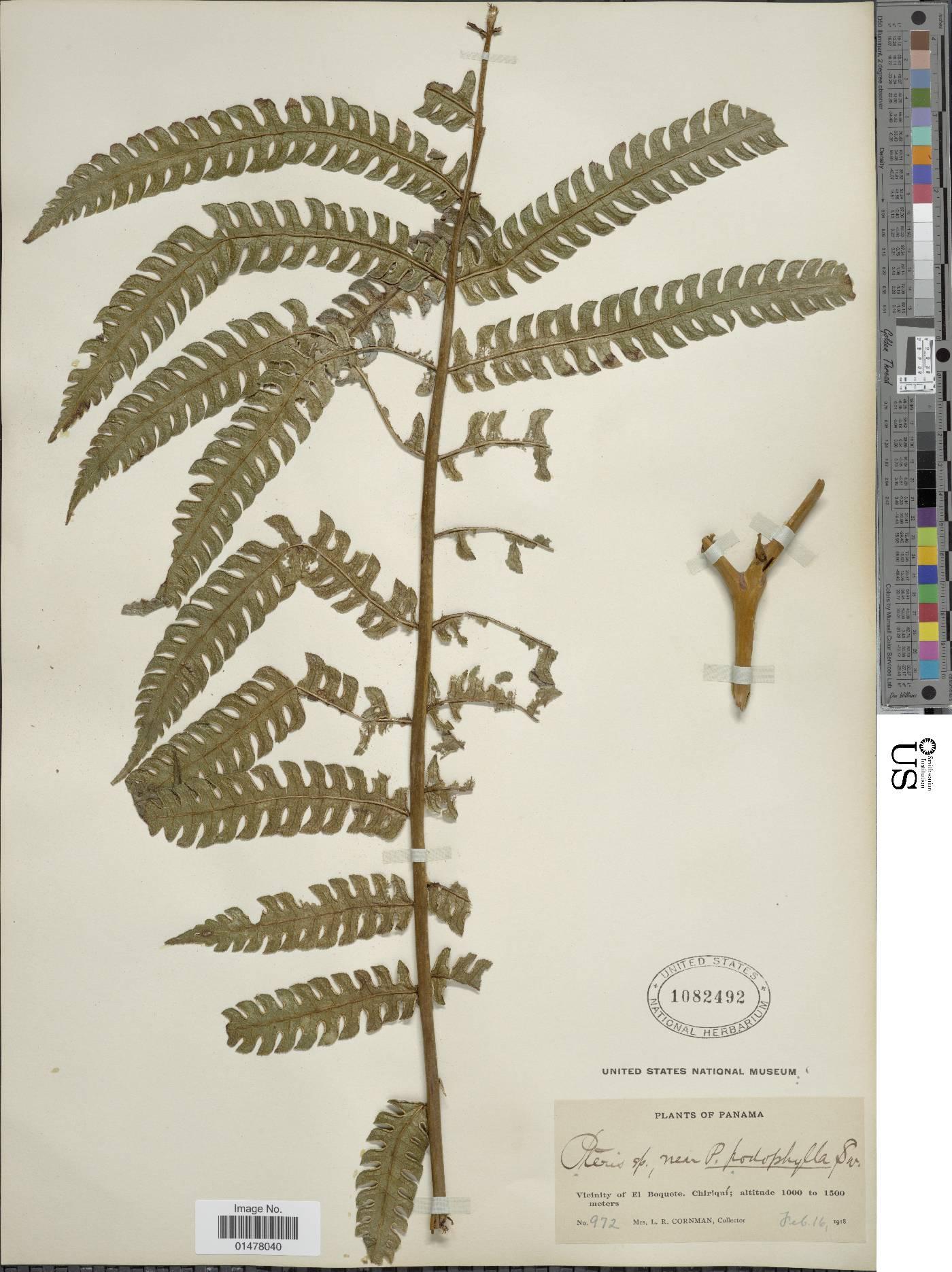 Pteris podophylla image