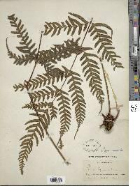 Pteris paucinervata image