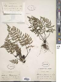 Image of Asplenium aethiopicum