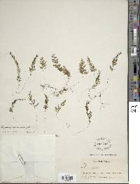 Image of Hymenophyllum hemipteron