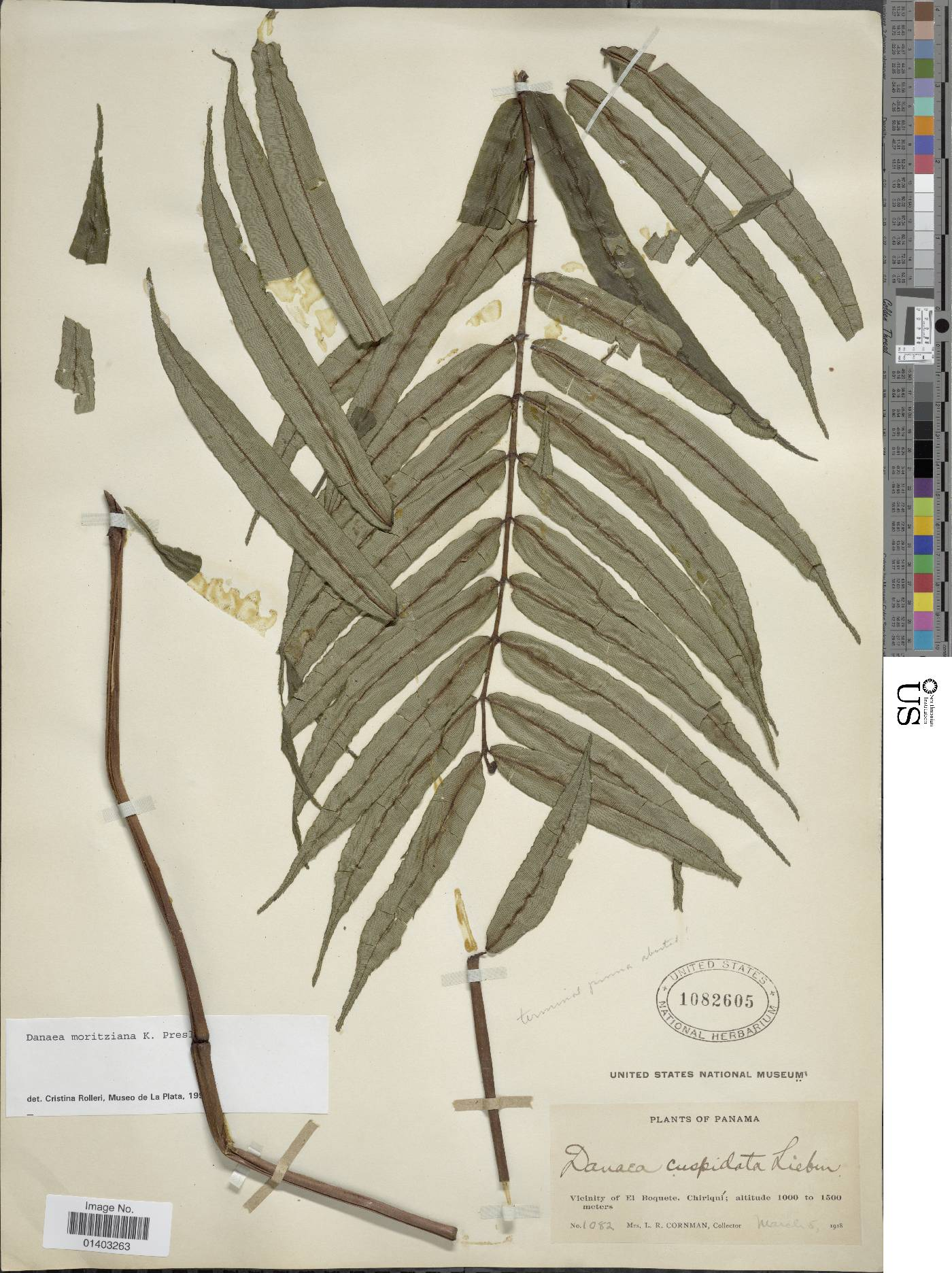 Danaea moritziana image