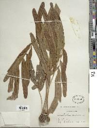 Acrostichum aureum image