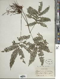 Image of Adiantum serratodentatum