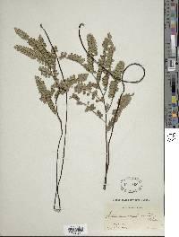 Adiantum serratodentatum image