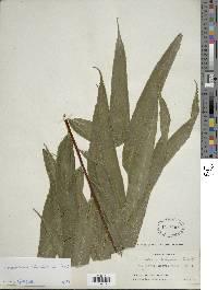 Saccoloma elegans image