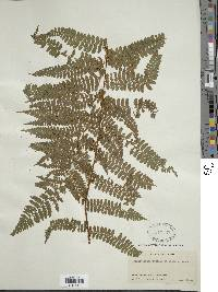 Dennstaedtia cicutaria image