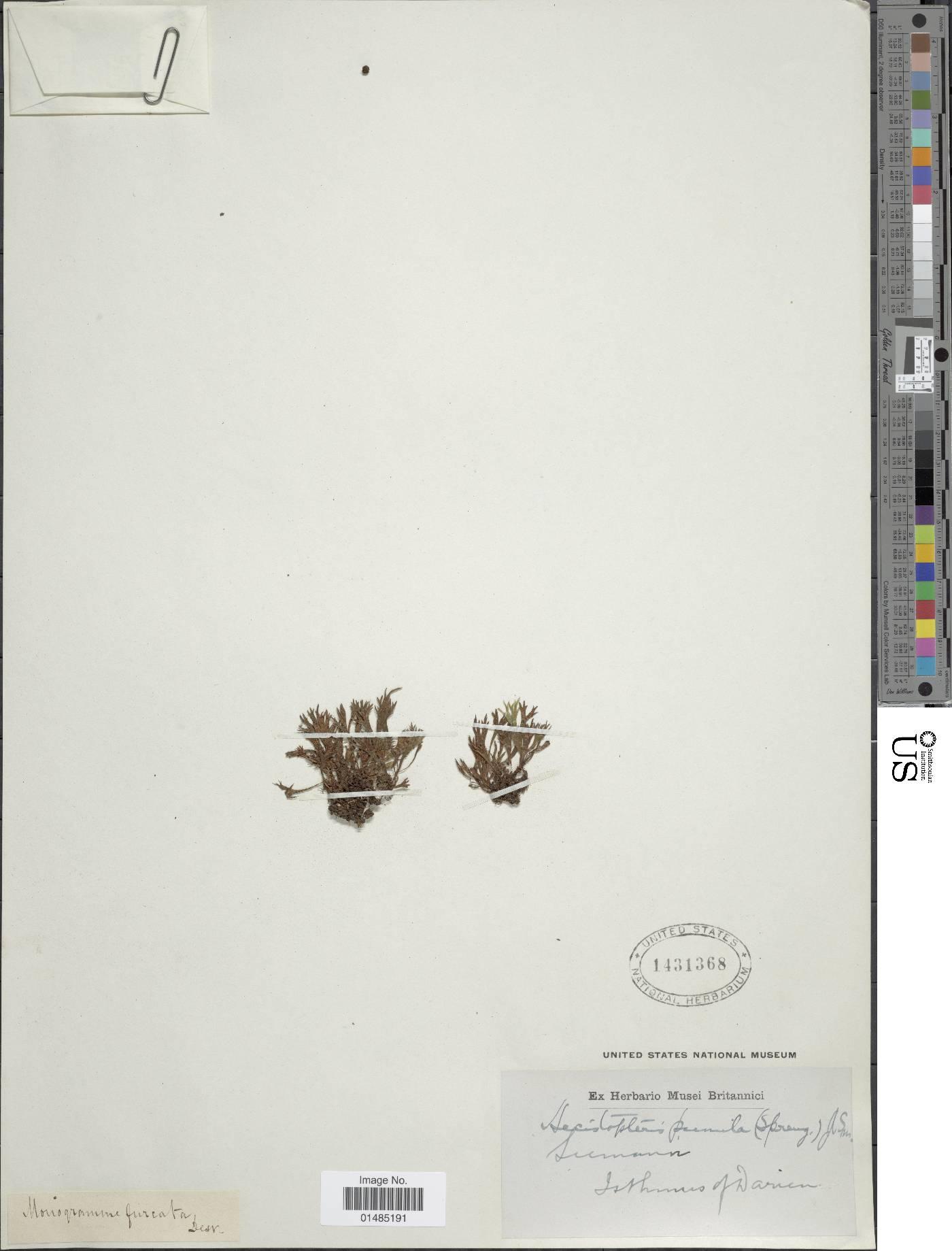 Hecistopteris pumila image