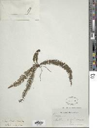 Trichomanes osmundoides image