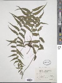 Asplenium pululahuae image