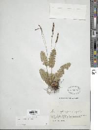 Anemia oblongifolia image