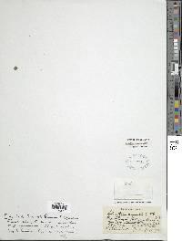 Adiantum concinnum image