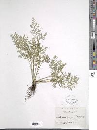 Asplenium theciferum image