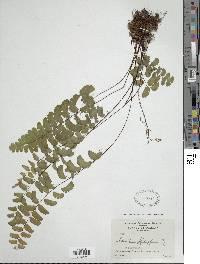 Adiantum philippense image