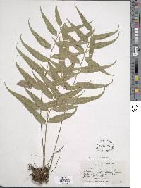 Asplenium falcinellum image