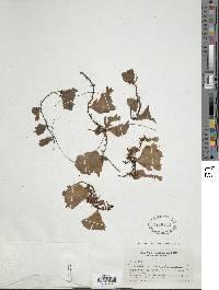 Didymoglossum membranaceum image