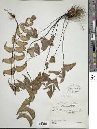 Adiantum macrophyllum image
