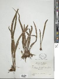 Polytaenium lineatum image