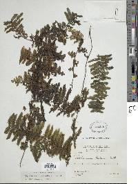 Image of Trichomanes tuerckheimii