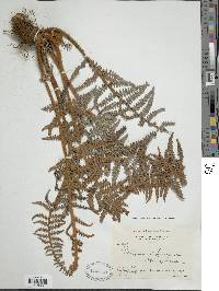 Pityrogramma ferruginea image