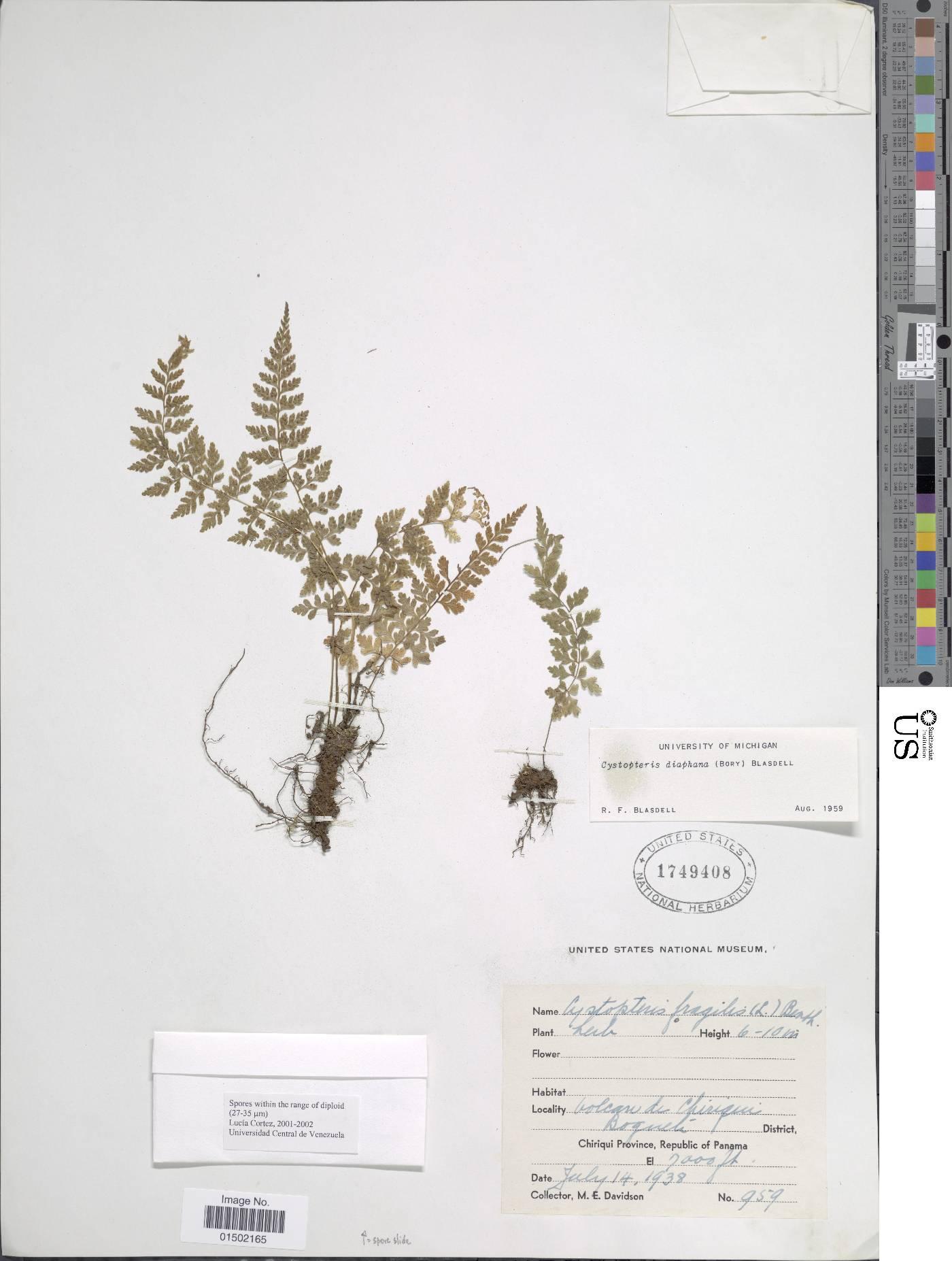 Cystopteris diaphana image