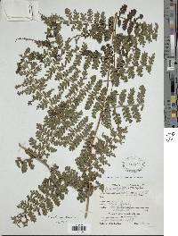 Image of Dennstaedtia auriculata
