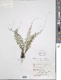 Image of Asplenium rutaceum