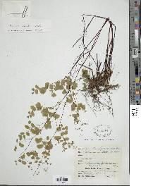 Image of Adiantum poiretii