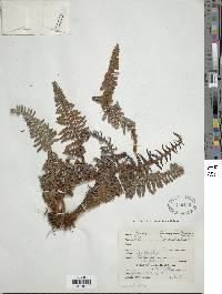 Image of Pityrogramma ferruginea