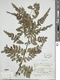 Image of Marattia excavata