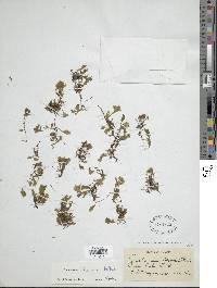 Didymoglossum ekmanii image