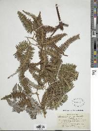 Gleichenella pectinata image