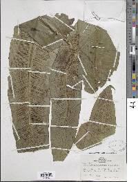 Hemidictyum marginatum image