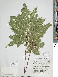 Selaginella haematodes image