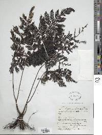 Trichomanes elegans image
