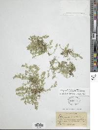 Selaginella flagellata image