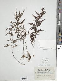 Hymenophyllum subrigidum image