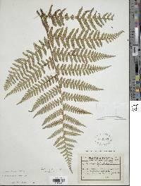 Hypolepis grandis image