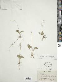Ophioglossum nudicaule image