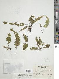 Trichomanes galeottii image