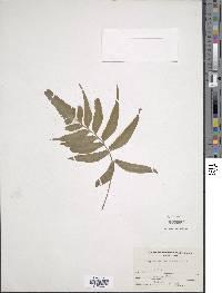 Asplenium delitescens image