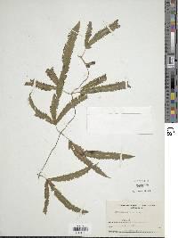 Lygodium radiatum image