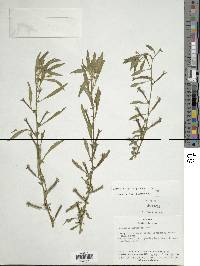 Ludwigia leptocarpa image